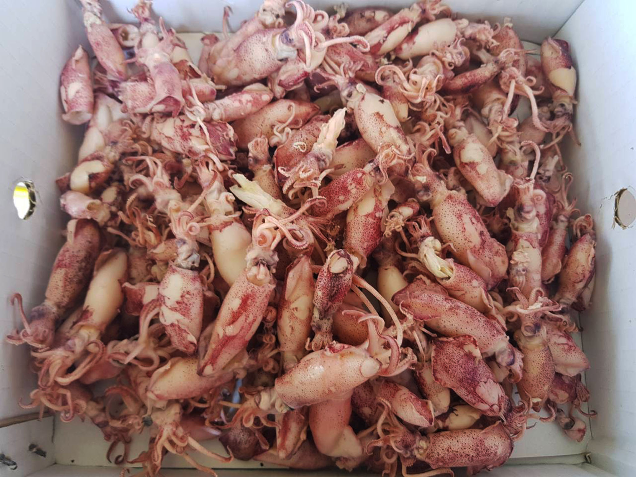 Dried Boilded Baby Loligo Squid