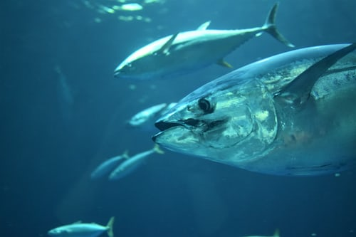 tuna market report