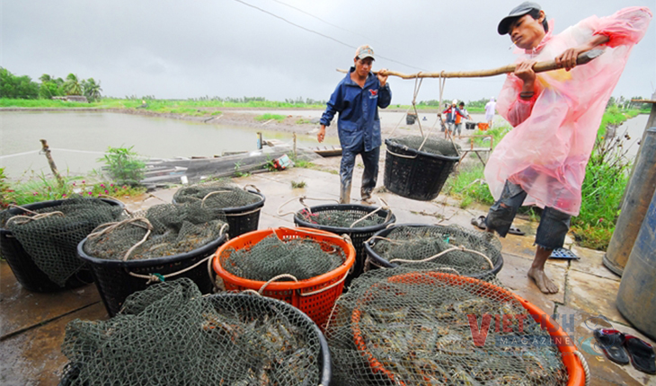 Situation of shrimp and pangasius market in May 2020