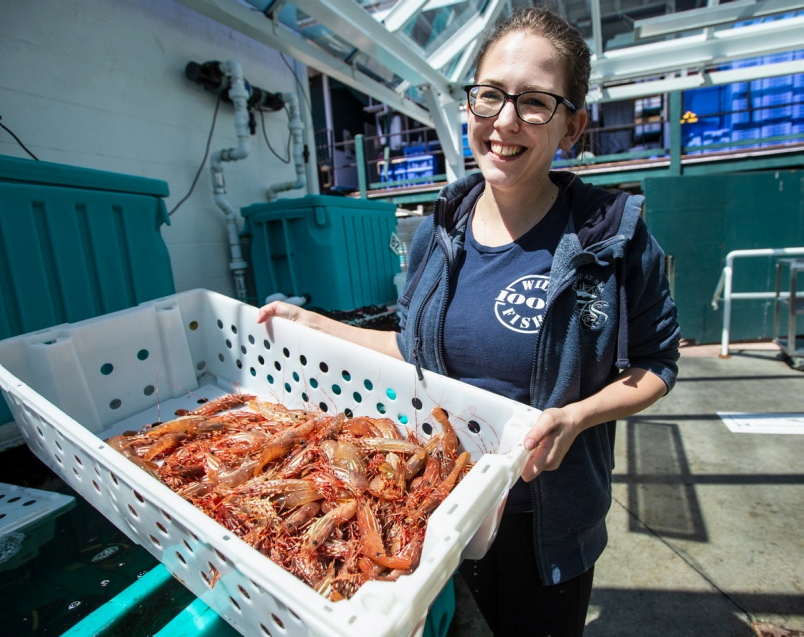 Spot-prawn market 'in the toilet' as Asian glut slashes wholesale prices